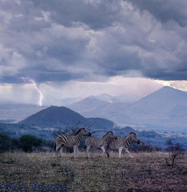 Lightning starts a bush fire and worries some Common Zebras (Equus burchelli)